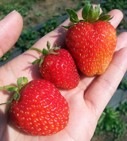 Fresh Picked Strawberries from The Fruit Loop